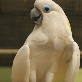 Beautiful White Parrot by Michael Loi - Novices Only Wildlife ( white parrot, sg, bird park )