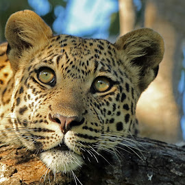 A Botswana Leopard by Anthony Goldman - Animals Lions, Tigers & Big Cats ( okavango delta, big cat, chiefs camp, wild, tree, africa, pradator, leopard )