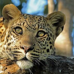 A Botswana Leopard by Anthony Goldman - Animals Lions, Tigers & Big Cats ( okavango delta, big cat, chiefs camp, wild, tree, africa, pradator, leopard, , #GARYFONGDRAMATICLIGHT, #WTFBOBDAVIS )