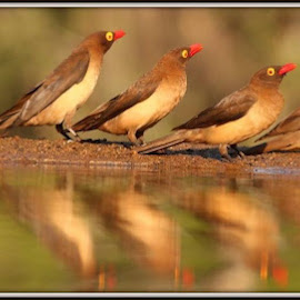 All in a row, and together now by Catherine Volker - Animals Birds (  )