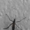 White - footed woods mosquito