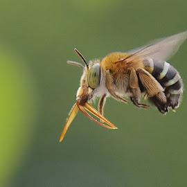 Bee In flight by Balox Berhati Nyaman - Animals Insects & Spiders ( flight, wing, macro, nature, fly, bee, insect )