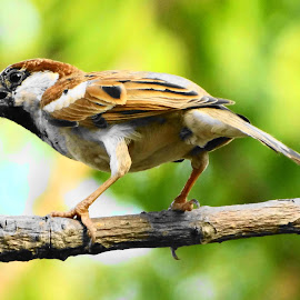 Male Sparrow by Dinesh Pandey - Animals Birds