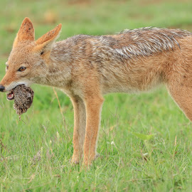 Black backed jackal by Dirk Luus - Animals Other ( blac, nature, backed, wildlife, jackal )