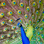 Peacock by Joseph Callaghan - Animals Birds ( bird, show off, blue, mesmerizing, peacock )