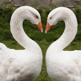 love geese by Paul Scullion - Animals Birds