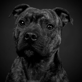 Cody by Steve Howell - Animals - Dogs Portraits ( animals, dogs, gentle, pets, staffordshire bull terrier, dog portraits )
