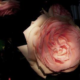 Pink English Rose by Mark Zukaitis - Digital Art Things