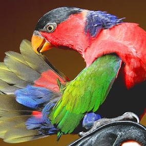 My Sweet Nuri by Ferry's Lens - Animals Birds