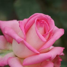 Rose by Brenda Shoemake - Flowers Single Flower