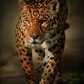 Stealthy  by Paul Fine - Animals Lions, Tigers & Big Cats ( jaguar, hunter, predator, big cats, endangered, feline, amazon )