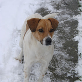 Portrait of a dog in Winter by Ivan Mendes - Animals - Dogs Portraits ( face, snow, white, brown, paws, dog )