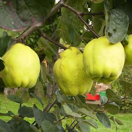 quince by Marija Čaušić - Food & Drink Fruits & Vegetables ( sky, tree, snow, white, berries )
