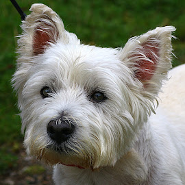Max by Chrissie Barrow - Animals - Dogs Portraits ( west highland white terrier, pet, white, fur, ears, dog, nose, portrait, eyes )
