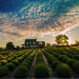 lavender field sunset by Bob Applegate - Landscapes Prairies, Meadows & Fields ( farm, clouds, sunset, dappled light, lavender )