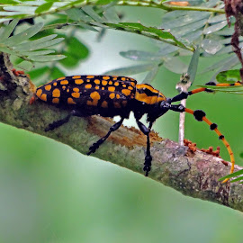 Beetle by Asif Bora - Animals Insects & Spiders