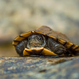 Turtle by Jawahar Srinath - Animals Reptiles ( natural light, wild, reptiles, nature, national geographic, nature up close, wildlife, turtle )