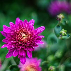 Bloom by Dragan Nikolić - Flowers Flower Gardens (  )