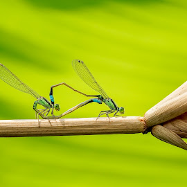 Dragonfly mating by Minh Hải - Animals Insects & Spiders ( fly, green, yellow, leaf, dragonfly mating, black )
