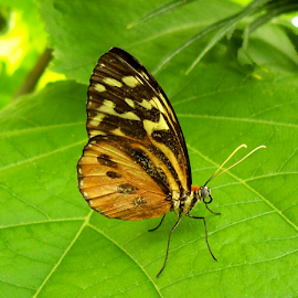 BUTTERFLY STRIKES A POSE by William Thielen - Novices Only Wildlife ( spots, orange, butterfly, butterfly house, delicate, wings, green leaf, denver, colorado, brown, yellow, stripes, black )