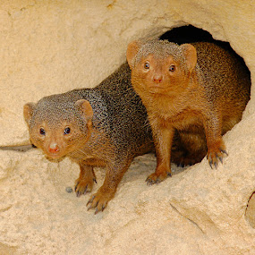 Les deux curieuses by Gérard CHATENET - Animals Other Mammals