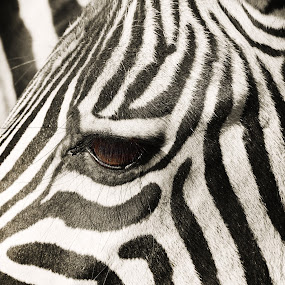 Black & White by Chelsea Vermaak - Animals Other Mammals ( black and white, zebra, stripes, africa, animal )