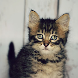 Baby Boy Oliver  by Tristen Leck - Animals - Cats Kittens ( cat, kitten, baby, boy, kitty, here kitty kitty )