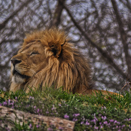 by Jay Graves - Animals Lions, Tigers & Big Cats