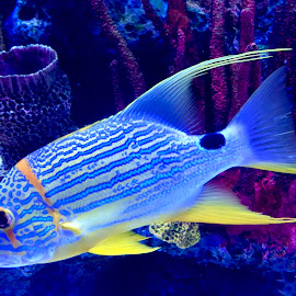 Under The Sea by Lorna Littrell - Animals Fish ( blue and yellow, ocean, sea life, fish, blue fish )