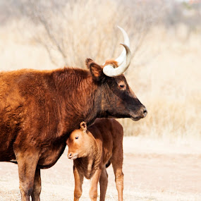 Longhorn with calf by Scott Thomas - Animals Other Mammals ( longhorn, nature, calf, landscape, animal )