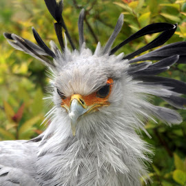 Secretary Bird by Ralph Harvey - Animals Other Mammals ( bird, secretary bird, wildlife, ralph harvey, marwell zoo, animal )