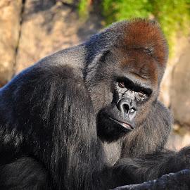 Great Gorilla Eyes by Jana Peterson - Animals Other Mammals ( gorilla, eyes )