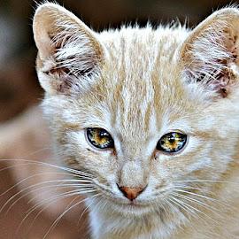 Portrait of Biscuit by Pieter J de Villiers - Animals - Cats Portraits ( cats, mammals, animals, pet, south africa, kittens, portrait,  )