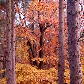 trees for the wood by Hayley Warriner - Nature Up Close Trees & Bushes ( winter, autumnal, wood, colors, trees, leaves )