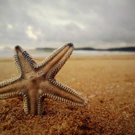 Starfish by Vinayak Salgaonkar - Animals Fish ( sand, waterscape, sunset, starfish, beach )