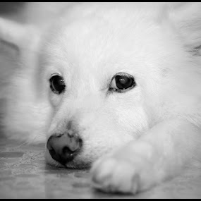 Miss Mournful by Terence Lim - Animals - Dogs Portraits ( b&w, japan, spitz, soulful, sad, tired, mournful, puppy, japanese, samoyed, japanese-spitz, dog )
