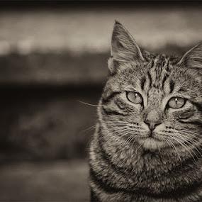 by Ивайло Цветанов - Animals - Cats Portraits