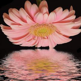 pink gerber by LADOCKi Elvira - Digital Art Things ( flowers.garden )