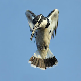 pied kingfisher by Zahoor Salmi - Animals Birds ( animals, nature, wildlife, zahoorsalmi, birds )