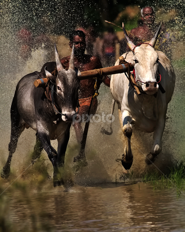 BULL RACE by Subramanniyan Mani - Sports & Fitness Other Sports