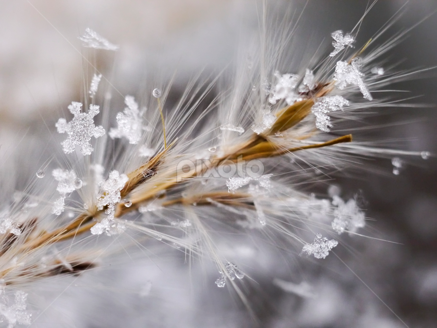 snow crystals on dry grass by Marianna Armata - Abstract Macro ( dry, grass, snowflake, crystal, yellow, marianna armata, macro, winter, cold, ice, snow, weather, brown )