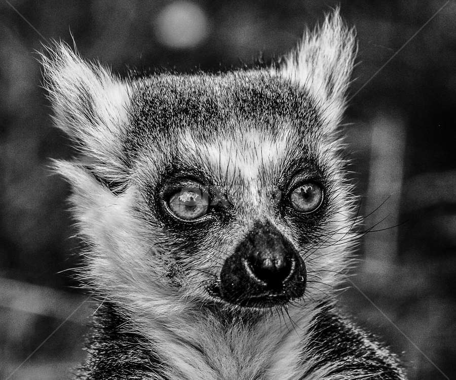 Lemur by Garry Chisholm - Black & White Animals ( garry chisholm, nature, wildlife, primate, lemur )