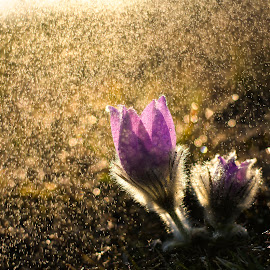 Pasque flower (Pulsatilla) by Josef Gabrhel - Flowers Flowers in the Wild ( detail, macro, water drops, protected, nature, macro photography, pasque, sundown, nature up close, spring, rain, flower )
