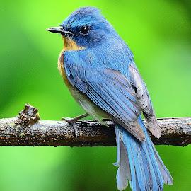 Tickell's Blue Flycatcher by Manoj Kulkarni - Animals Birds ( forest, chiplun, flycatcher, nature, tickell, india, magical, beautiful, monsoon, blue, closeup, bird, maharashtra, jungle, colorful, indian, wildlife )