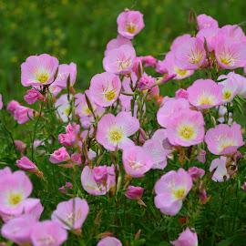 Primrose by Brenda Shoemake - Flowers Flowers in the Wild