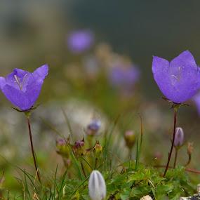 Flori de munte by Kati Raileanu - Nature Up Close Flowers - 2011-2013