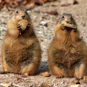 Mom & Pop Eating Breakfast by Vicki Pardoe - Animals Other Mammals ( mammals, prairie dogs, eating, cute prairie dogs, mom & pop )