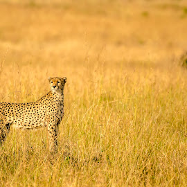 Standing tall by Praveen Chandra - Animals Lions, Tigers & Big Cats ( cheetah, elegant, masaimara, bigcat )