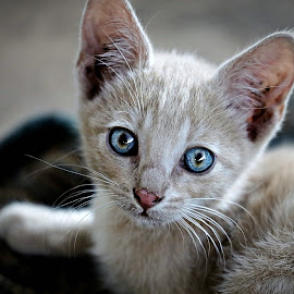 Blue-Gin by Pieter J de Villiers - Animals - Cats Kittens