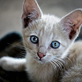 Blue-Gin by Pieter J de Villiers - Animals - Cats Kittens